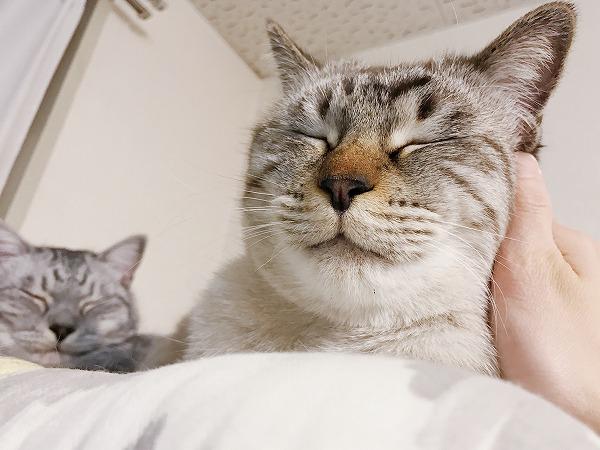顔を撫でられてうっとりしているシャムトラ猫