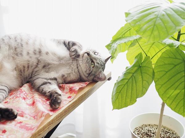 窓際のテーブルの上に仰向けに寝っ転がるサバトラ猫