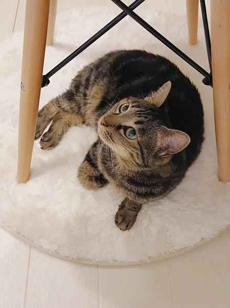 椅子の下に寝そべっているキジトラ猫