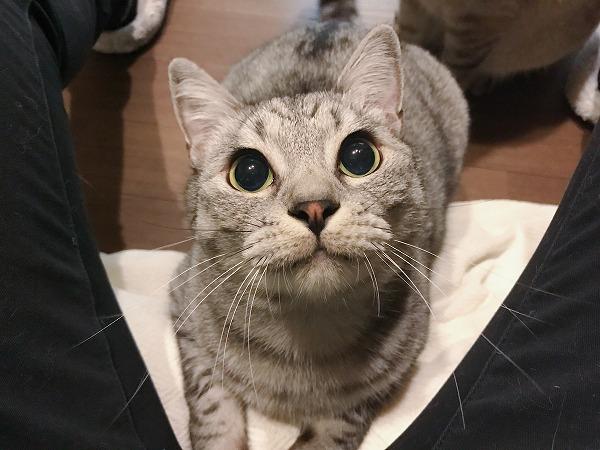 瞳孔全開のサバトラ猫