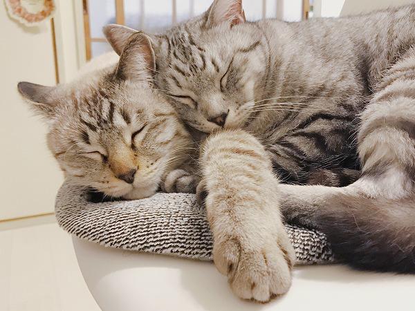 ぴったりほっぺたをくっつけて寝ているシャムトラ猫とサバトラ猫
