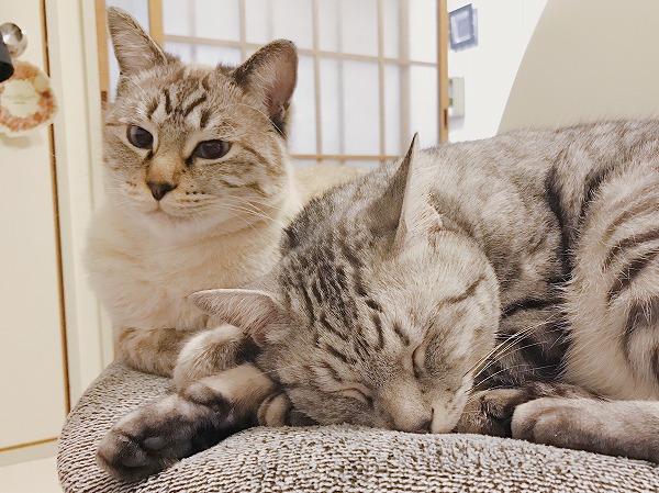 目が覚めたシャムトラ猫と、また寝たサバトラ猫