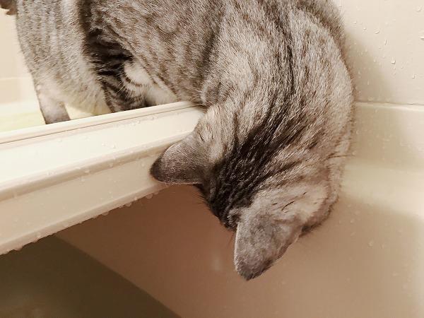 風呂蓋の上から湯船を覗き込むサバトラ猫の後頭部