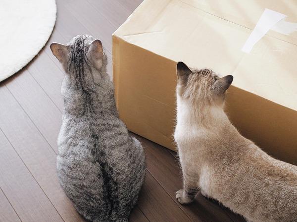 サバトラ猫とシャムトラ猫の背中