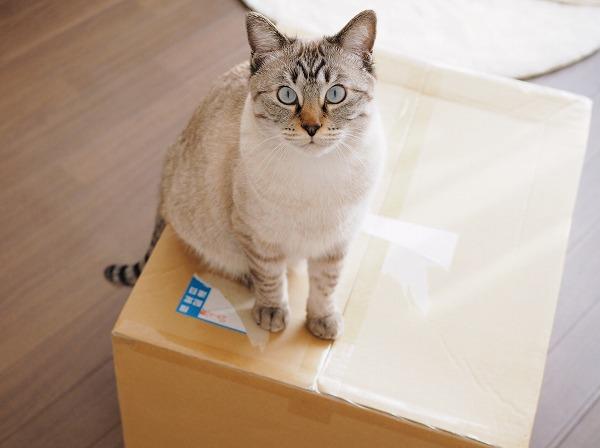 大きなダンボール箱の上に座っているシャムトラ猫