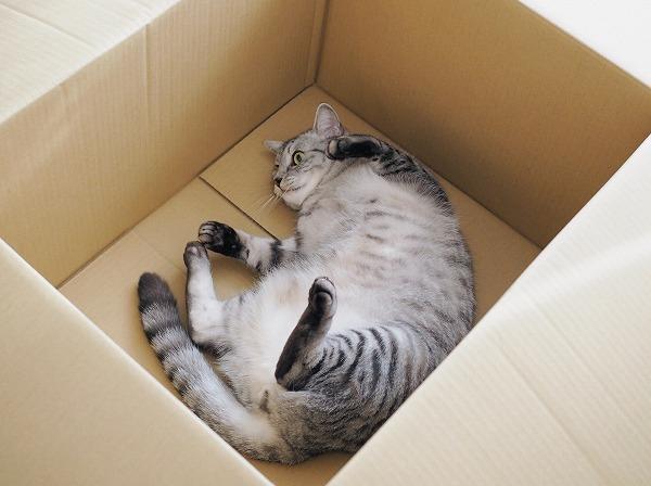 ダンボールの中で寝っ転がっているデブ猫