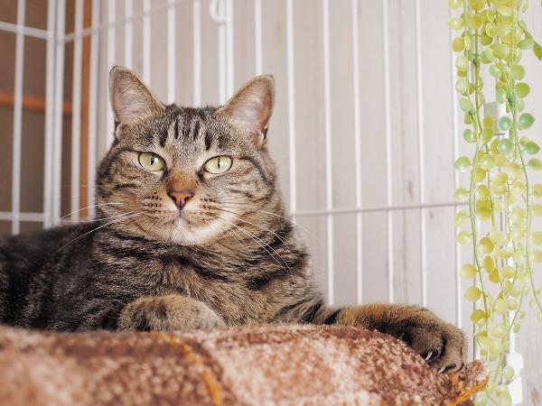 ケージの中のベッドでくつろいでいるキジトラ猫