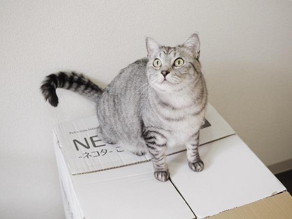 箱を開けようとすると飛び乗って邪魔してくるサバトラ猫