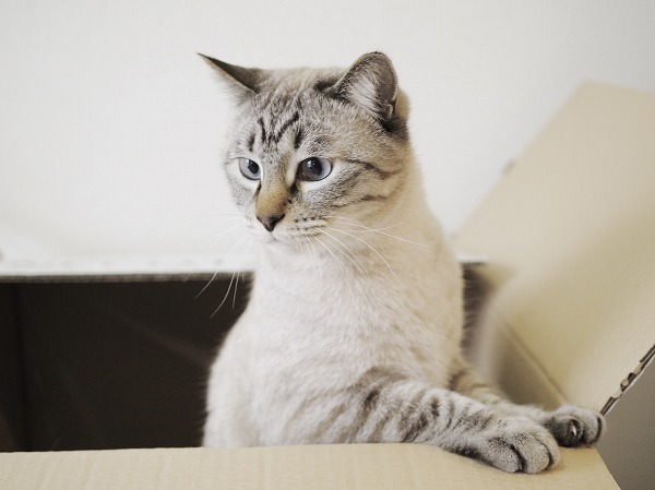 空き箱の中に入って遊んでいるシャムトラ猫