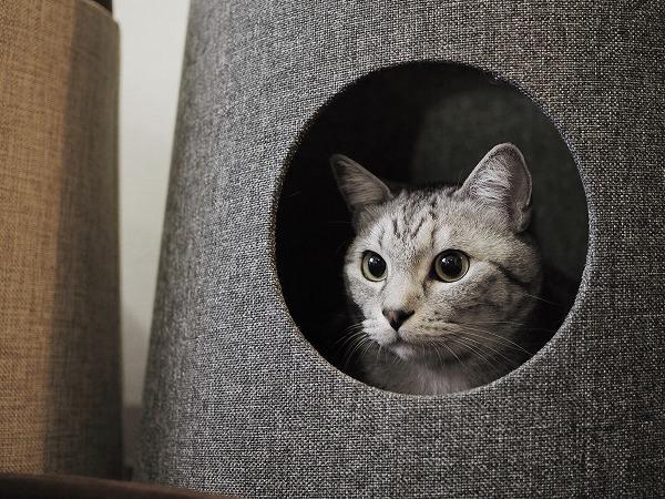 穴の中から外を見てるサバトラ猫