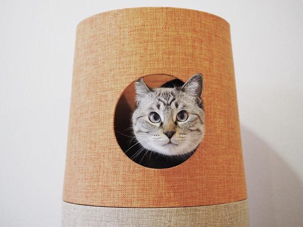 丸顔のシャムトラ猫