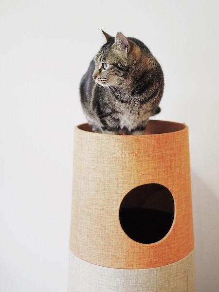 セットカーサのてっぺんにいるキジトラ猫