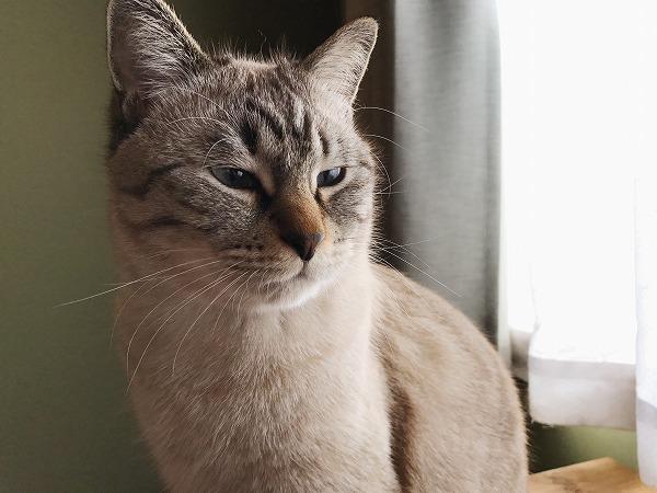 訝しげな顔のシャムトラ猫