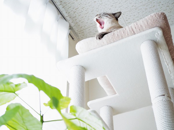 大きく口を開けてあくびをしているシャムトラ猫