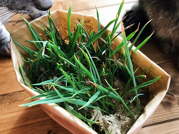 無印の猫草栽培記録:3週間目くらい