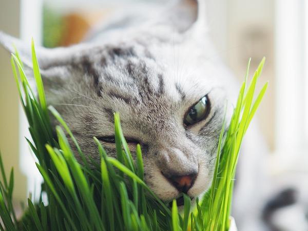 鼻にシワを寄せながら猫草にかぶりつくサバトラ猫