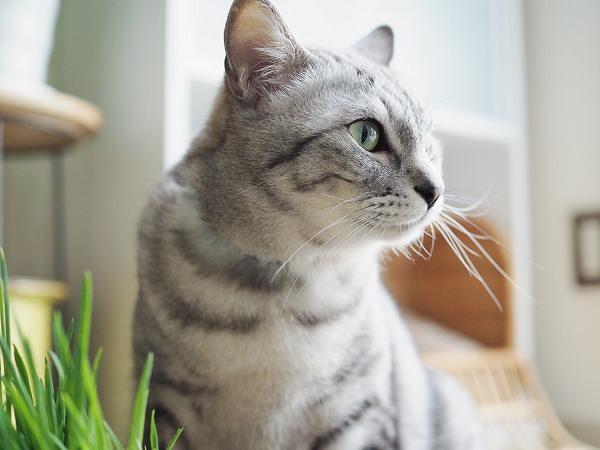 よそ見をするサバトラ猫