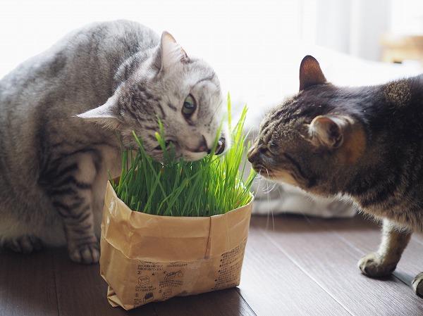 いっしょに猫草に食らいつくサバトラ猫とキジトラ猫