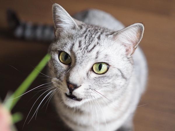 床に落ちた猫草を拾った私の指に飛びつく5秒前のサバトラ猫