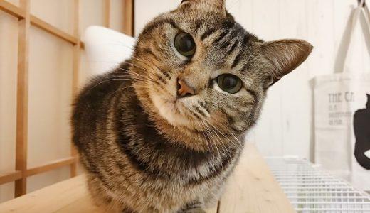 首をかしげる猫がかわいすぎてかわいい以外の言葉を失う