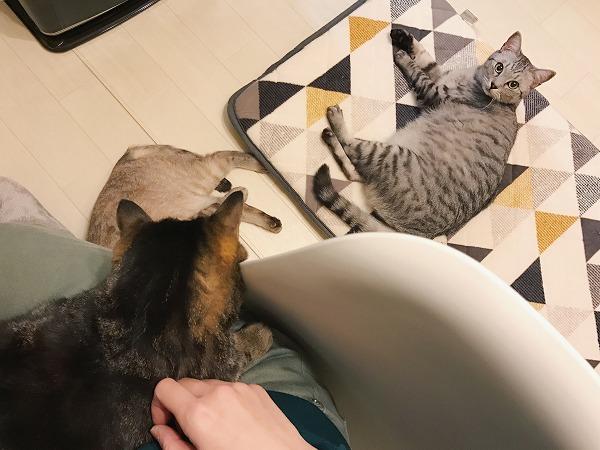 座布団の上に横たわってこちらを見ているサバトラ猫
