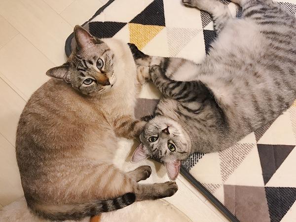 なかよくいっしょに寝そべってこちらを見上げているサバトラ猫とシャムトラ猫