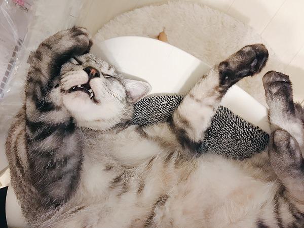 椅子の上でお腹を見せて寝っ転がっているサバトラ猫