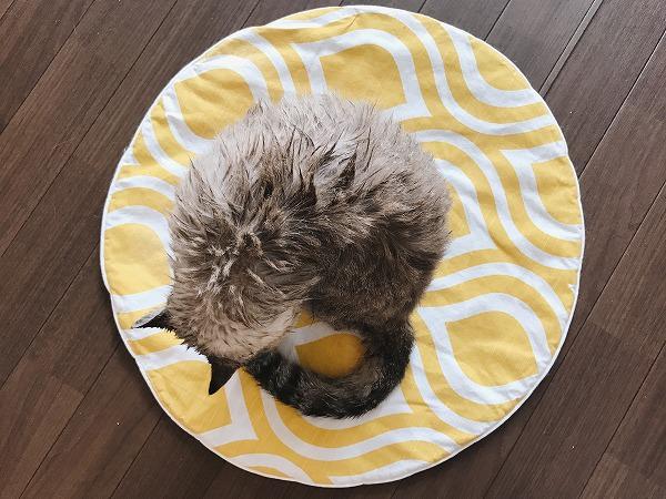 シャンプーされて毛がぼさぼさになっているシャムトラ猫
