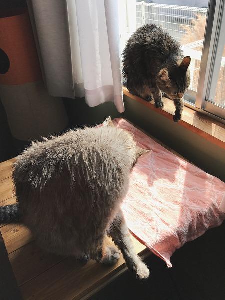 窓辺で毛づくろいするキジトラ猫とシャムトラ猫