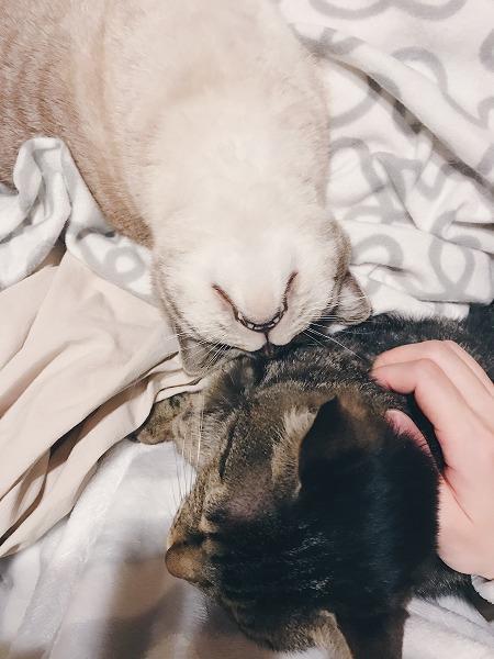 「自分もなでなでしてほしい」とアピールするシャムトラ猫