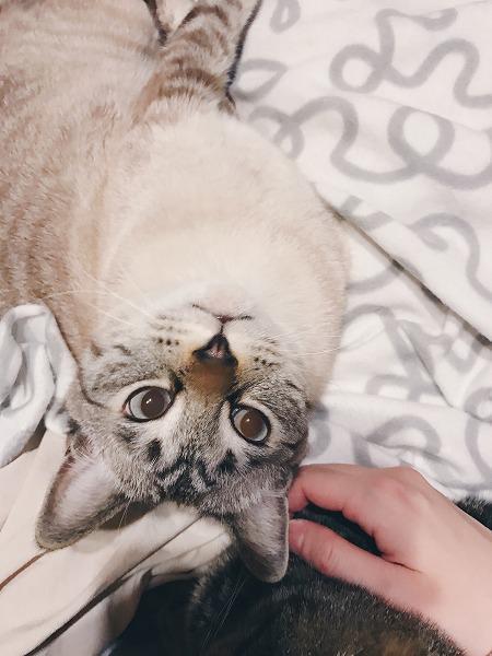 仰向けのままこっちを見るシャムトラ猫