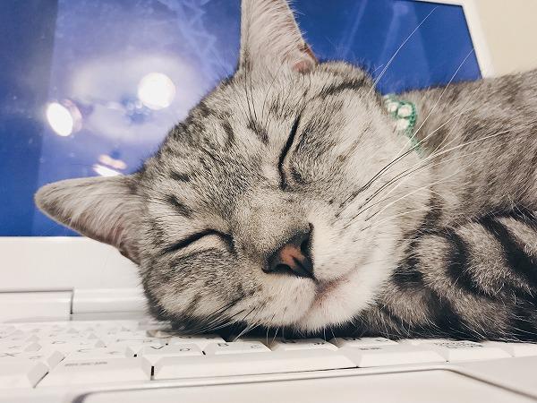 目を閉じて寝たフリをするサバトラ猫