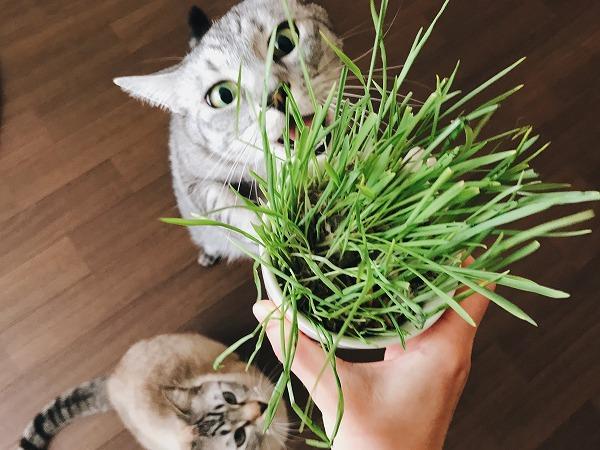 猫草くれー!はよくれー!
