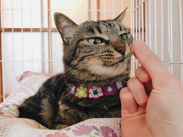 飼い主の手から猫草を食べるキジトラ猫