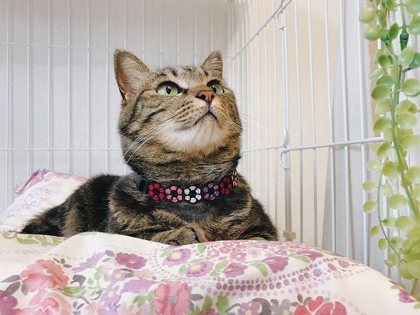 ケージの中の花柄ベッドでくつろいでいるキジトラ猫