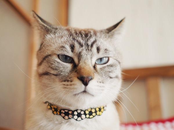 ゴルゴ13のような険しい表情のシャムトラ猫