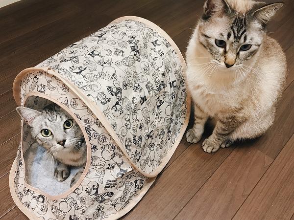 キャットテントに入っているサバトラ猫と、側に座ってるシャムトラ猫