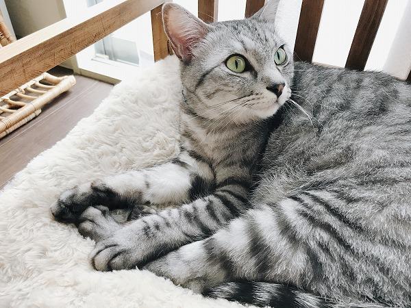 ベッドでくつろいでるサバトラ猫