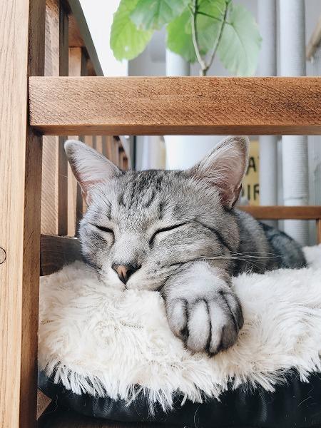 自分の前足にあごを乗せて寝ているサバトラ猫