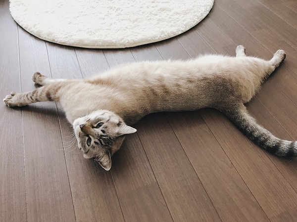 床の上で伸びているシャムトラ猫