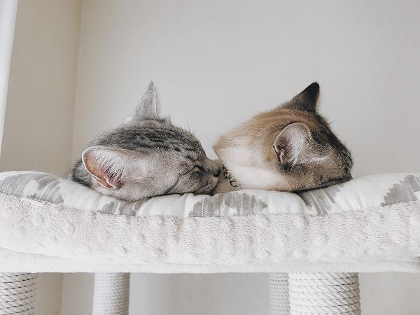 サバトラ猫とシャムトラ猫の頭