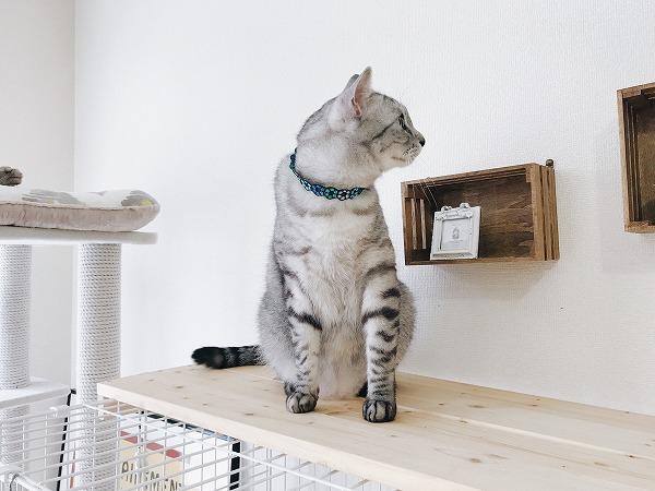 ケージの上に乗せた板の上に座ってるサバトラ猫