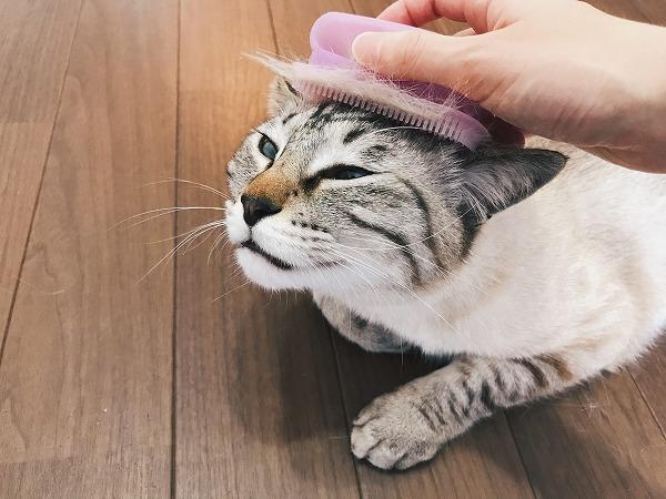 ブラシで頭皮マッサージされているムク(シャムトラ猫)。