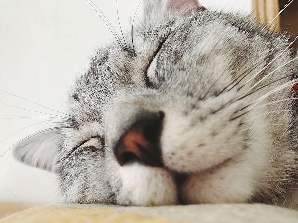 サバトラ猫の寝顔どアップ