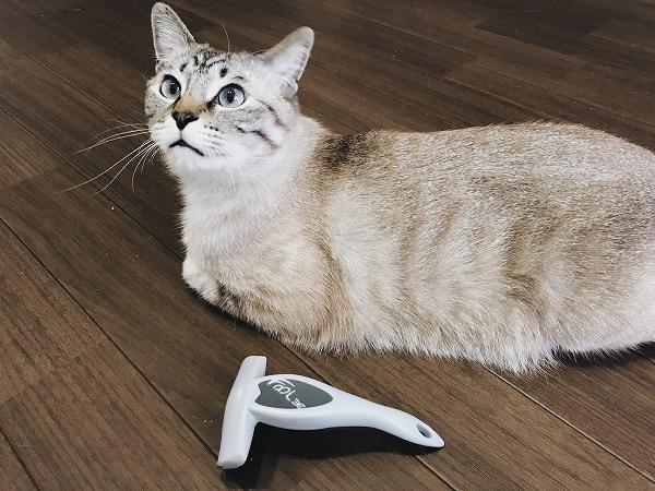 床に置いたフーリーとシャムトラ猫