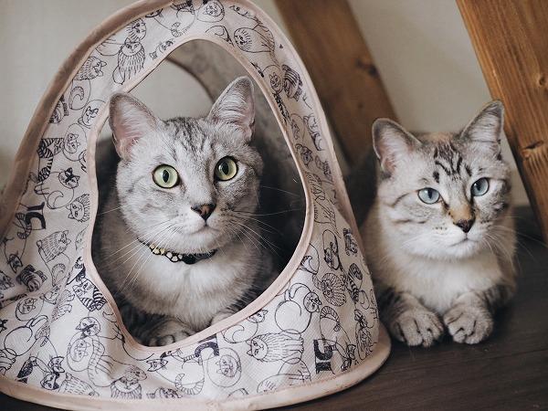 猫テントに入っているサバトラ猫と、テントの横に並んで伏せてるシャムトラ猫