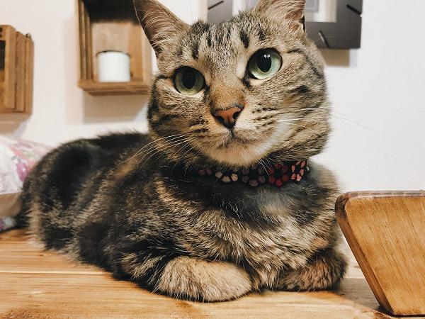 香箱座りをしているキジトラ猫