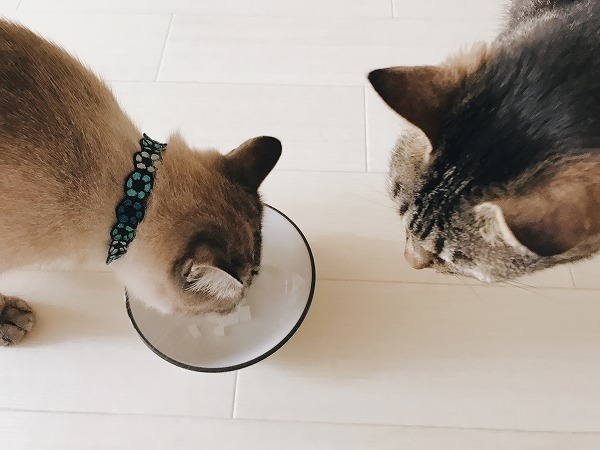お皿に乗せた寒天を食べているシャムトラ猫と、それを見ているキジトラ猫