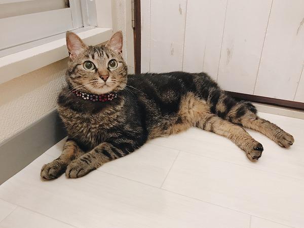 風呂場の前でぺたんと横になっているキジトラ猫