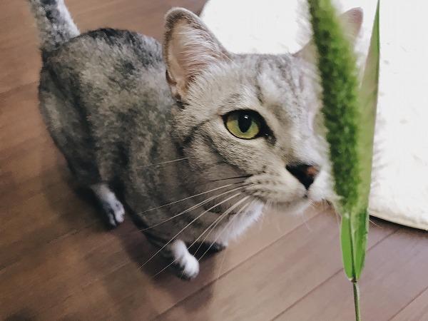エノコログサに近づくサバトラ猫